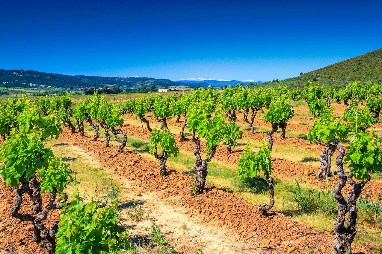 les vignes de Fontsainte