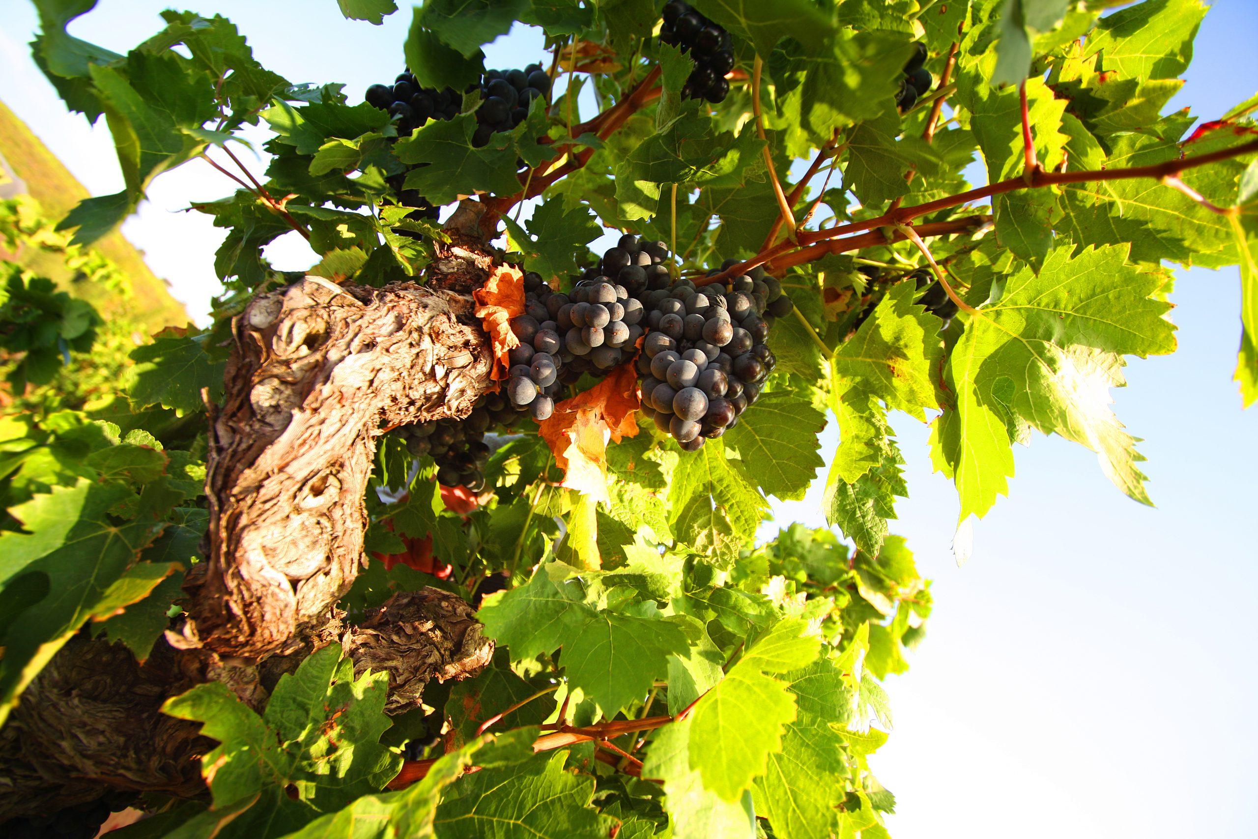 une grappe remplie de raisin