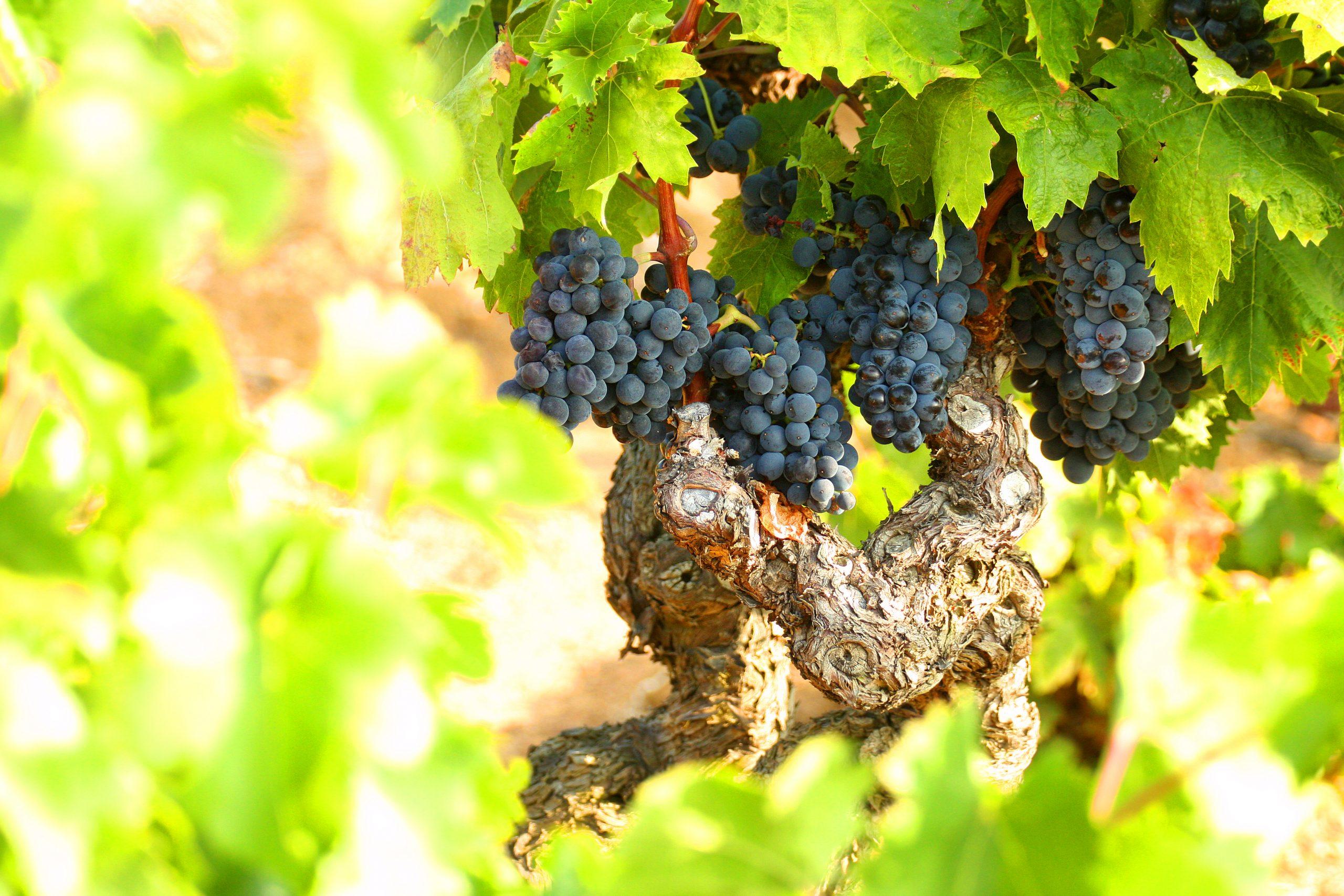 des raisins sur un cep de vigne