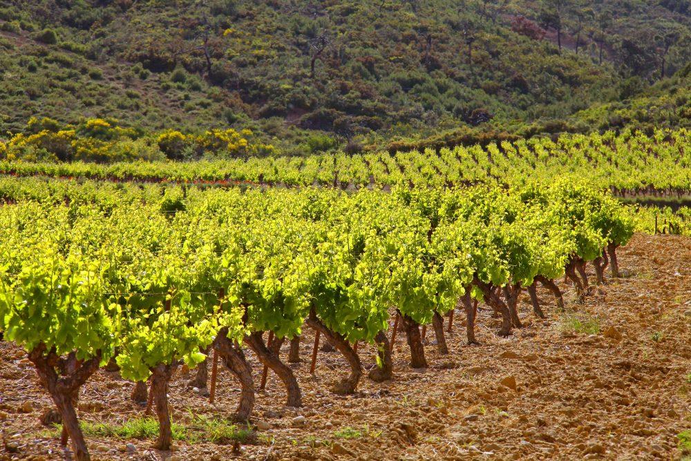 vignes au porte des Corbières